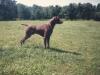 zobel vom pregelufer, το καλύτερο κυνηγόσκυλο ανάμεσα σε όλες τις ράτσες που έγινε ποτέ γνωστό μέχρι που πέθανε το 1997, αφήνωντας πίσω νεαρά κουτάβια και εγγόνια που θα βρείτε μόνο στη Kefalonia Game Farm!!