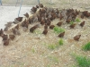 Bob White and Tenessy red Quails ready for release in the wild for hunting